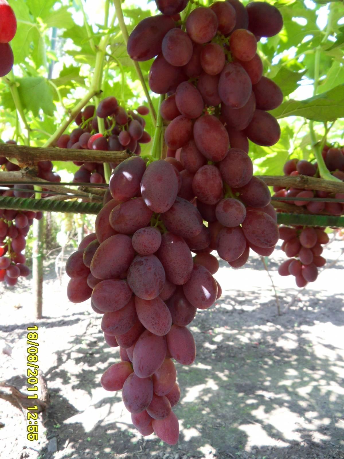 Виноград душистый фото 5